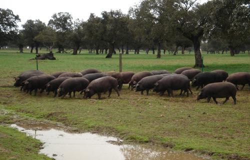 La  bellota (ghianda) alimento dei maiale iberici
